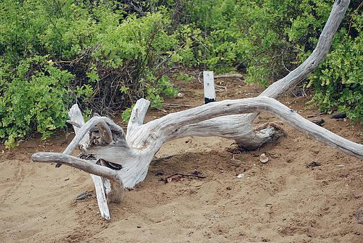 Harvey Barrison - Driftwood at Punta Cormoran