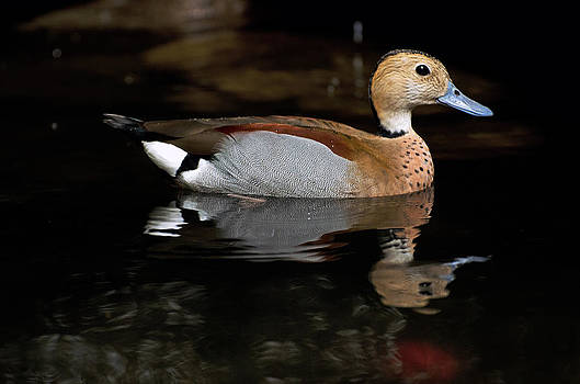 Duck reflections by Cheryl Cencich
