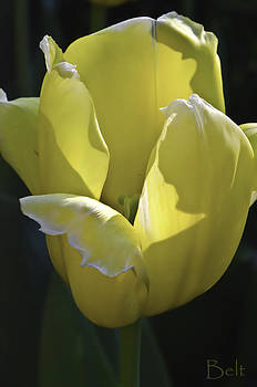 Easter Yellow Tulip by Christine Belt