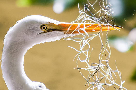 Egret at Play by Cliff C Morris Jr
