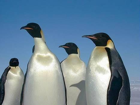 Emperor Penguins by Ademola kareem oshodi