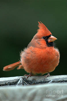 Fall Cardinal by Curtis Brackett
