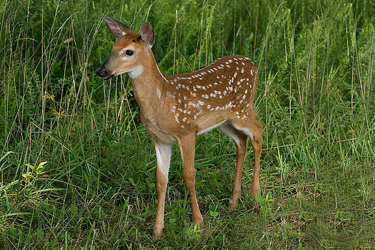 Fawn by Roger Phipps