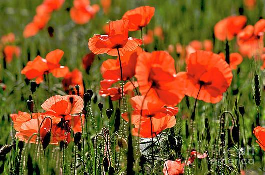 BERNARD JAUBERT - Field of poppies.