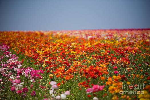 Daniel  Knighton - Flower Fields