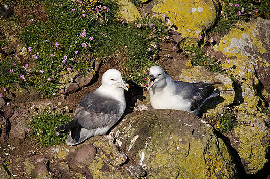 Howard Kennedy - Fulmar pair bonding