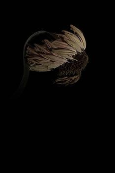 Gerbera Daisy by Nathaniel Kolby