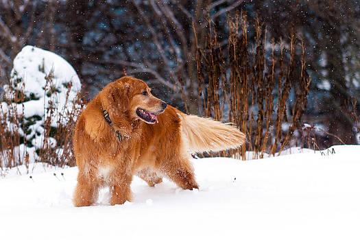 Matt Dobson - Golden Retriever in Snow