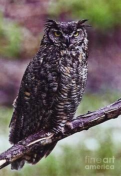 Diane Kurtz - Great Horned Owl
