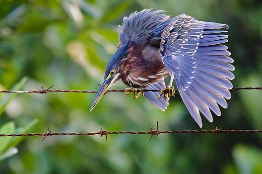 Christine Kapler - Heron on a barbed wire