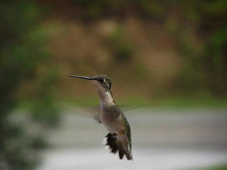 Hummingbird Flying by Terrill Wilson