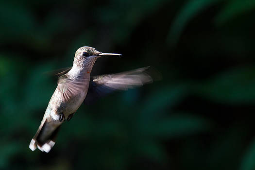 Jason Smith - Hummingbird
