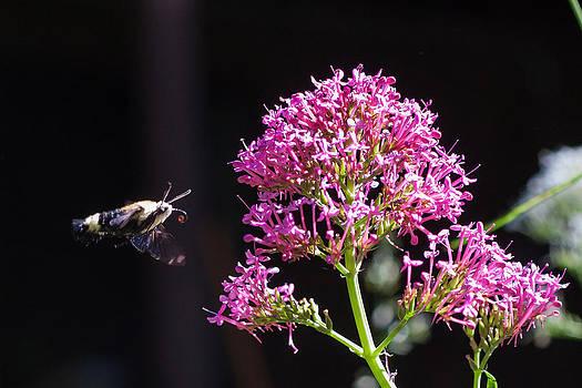 Chris Fullmer - Hummingbird Moth