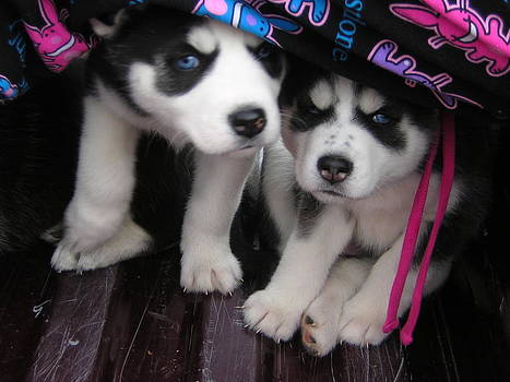 Husky Puppies by Polly Rickman