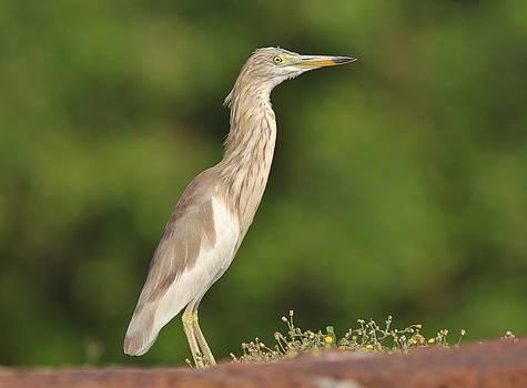 Indian Pond Heron by Sandeep Gangadharan