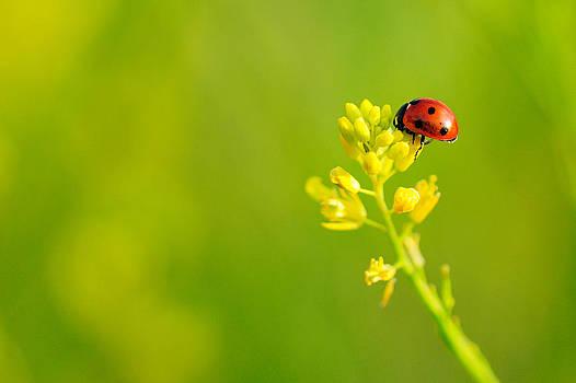 Ladybug on Yellow Flower by Hegde Photos