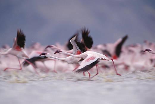Tim Fitzharris - Lesser Flamingo Flock Taking Flight