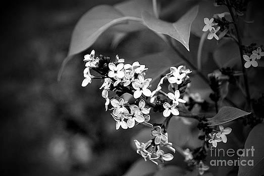 Lilac BW by Crissy Sherman