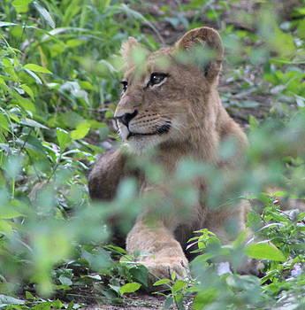 Lion Cub by Denise Dean