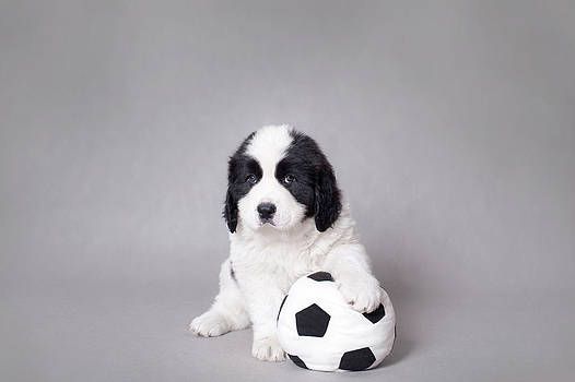 Waldek Dabrowski - Little Landseer puppy with soccer ball portrait