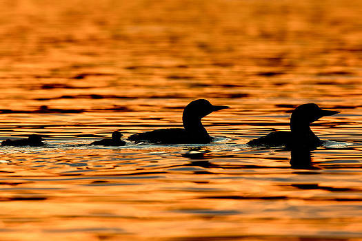 Loon Family Silhouette by Brandon Broderick