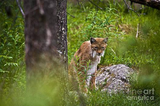 Heiko Koehrer-Wagner - Lynx