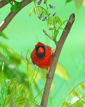 Mad Cardinal by Curtis Brackett