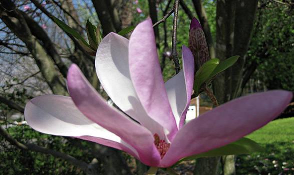 Magnolia by Jason Zhang