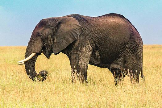 Majestic Elephant by Diane Geddes
