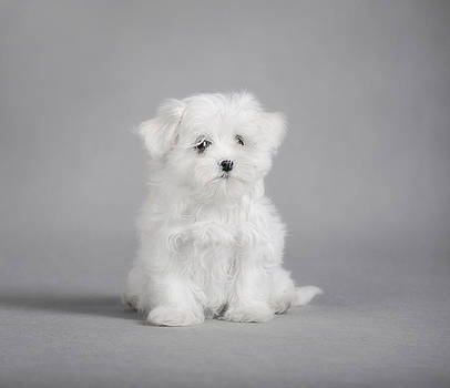 Waldek Dabrowski - Maltese dog puppy
