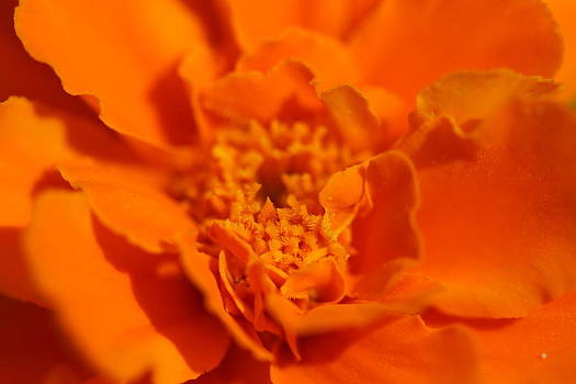 Marigold Flower by Bonnie Boden