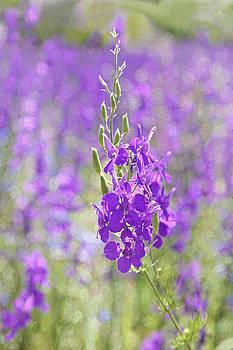 Kantilal Patel - Meadow of Violets