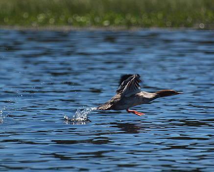 Merganser duck by Kristal Kobold