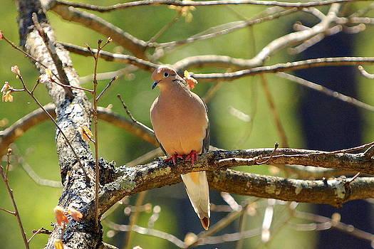 Morning Dove by Curtis Brackett
