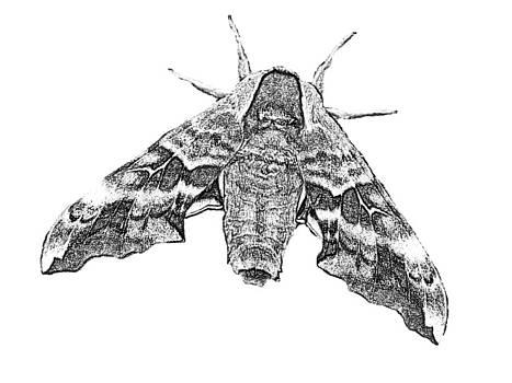 Moth 4 by Dave Dresser