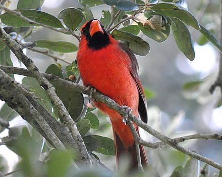 Northern Cardinal by Daniel Burnstein