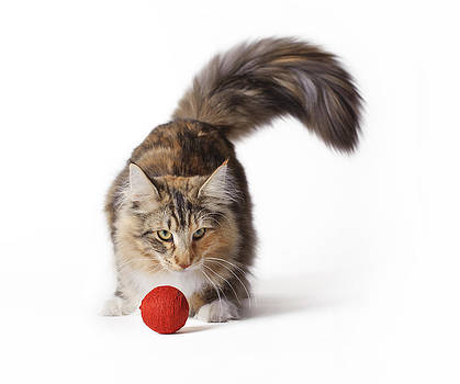 Waldek Dabrowski - Norwegian Forest Cat
