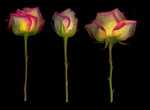 Old Roses  8 by Rod Huling