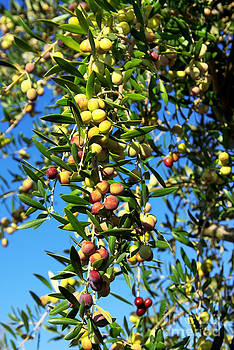 Olives on branch at Portugal. by Inacio Pires