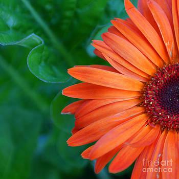 Orange Gerber by Maria Varnalis