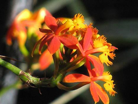Alfred Ng - orange orchid