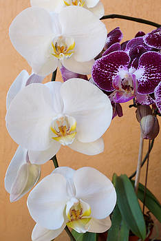 Orchid Delight by Carmen Del Valle