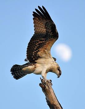 Osprey in Flight by Rick Frost