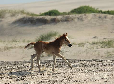 Outer Banks Wild Mustang Foal by Lori Bristow
