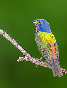 Painted Bunting singing by Ray Downs