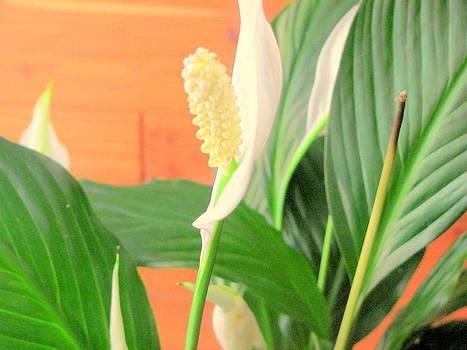Peace Lily  by Amy Bradley