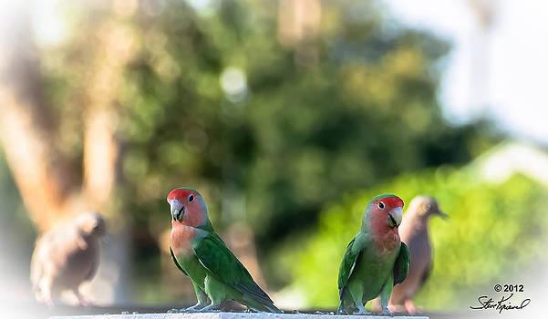 Steve Knievel - Peach Faced Love Bird Parrot 29