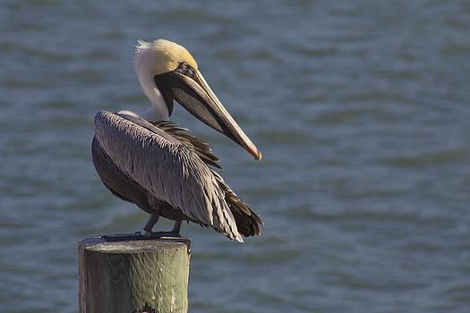 Pelican Project 4 by Bridget Finn
