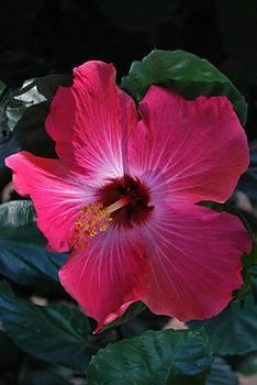 Michelle Cruz - Pink Hibiscus