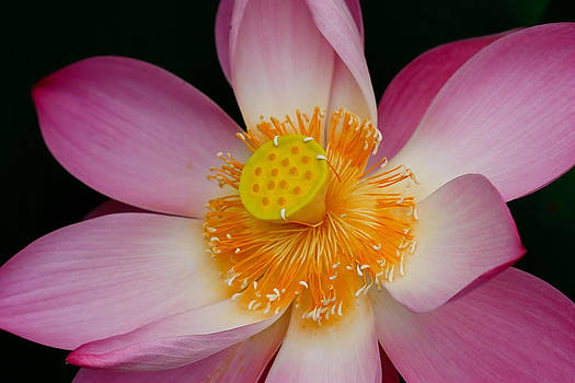 Pink Lotus Flower Blooming At Thailand by Chatchawin Jampapha